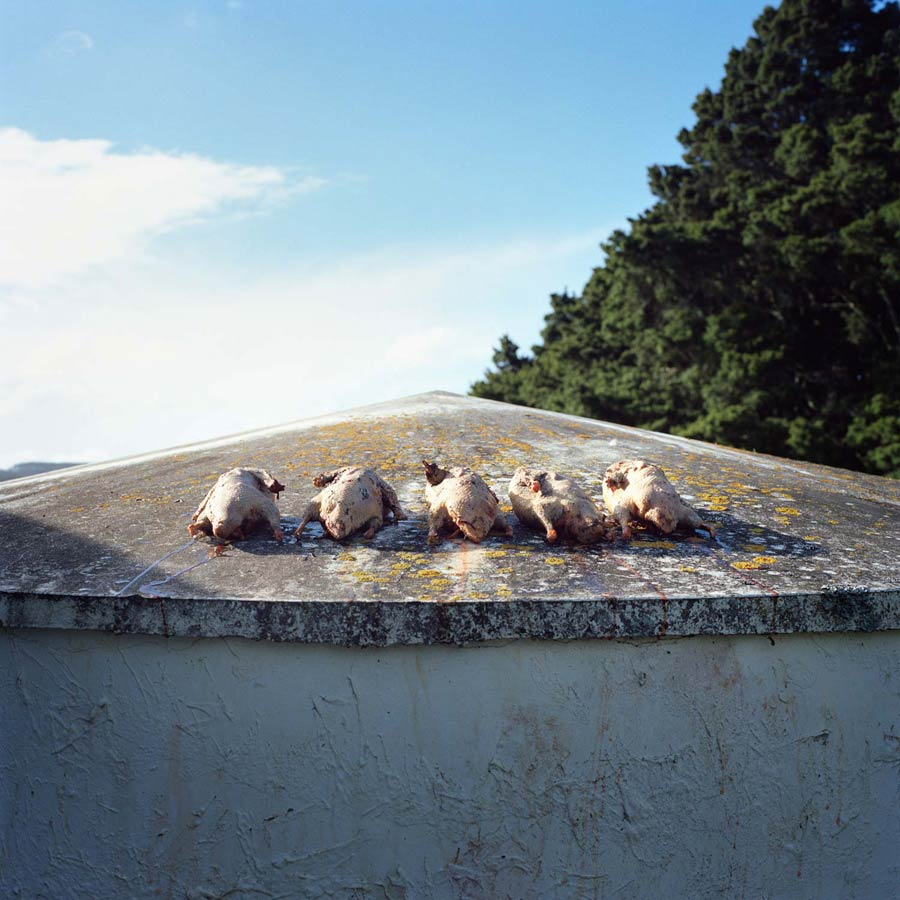 Five Plucked Ducks. Photograph by Abby Storey for the series Of the Land.